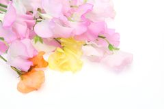Various color of sweetpea in a white background. Pictured various color of sweetpea in a white background Royalty Free Stock Image