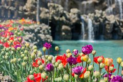 Various color tulip flowers in the garden. Various color tulip flowers bloom in spring the garden stock photo