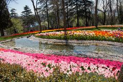 Various color tulip flowers in the garden. Various color tulip flowers bloom in spring the garden royalty free stock photos