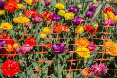 Various color tulip flowers in the garden. Various color tulip flowers bloom in spring the garden stock images