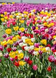 Various color tulip flowers in the garden. Various color tulip flowers bloom in spring the garden royalty free stock photo