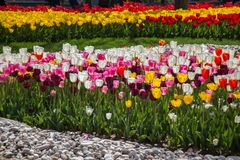 Various color tulip flowers in the garden. Various color tulip flowers bloom in spring the garden stock image