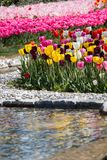 Various color tulip flowers in the garden. Various color tulip flowers bloom in spring the garden royalty free stock images