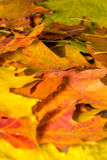 Various colored autumn leaves. In a park royalty free stock images