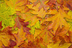 Various colored autumn leaves. In a park royalty free stock photos