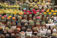 Various colorful blooming cactuses in the pots on the plant market in Peru Stock Photo