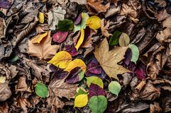 Various colorful leaves in early winter. One morning in the early winter and a detail of colored leaves Royalty Free Stock Photography