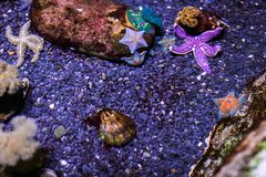 Various Colorful starfishes on rocks in water tank of aquarium. underwater wild life stock image