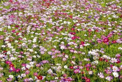 Various colors of cosmos flowers in the field Royalty Free Stock Images