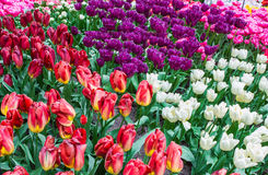 Various colors and shapes of tulips in Netherlands Royalty Free Stock Photos