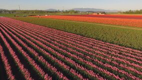 Various colors of tulips appear in agricultural field floral tulip. Aerial view over a vast tulip field showing a variety of colors stock footage