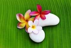 Various colour of Plumeria flowers Royalty Free Stock Photos