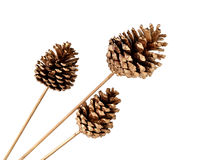 Various conifer cones isolated on white Royalty Free Stock Image