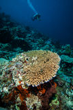 Various coral reefs in Derawan, Kalimantan, Indonesia underwater photo Stock Photos