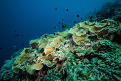 Various coral reefs in Derawan, Kalimantan, Indonesia underwater photo. There are rice coral Montipora capitata Stock Images