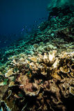 Various coral reefs and fishes in Derawan, Kalimantan, Indonesia underwater photo Stock Image
