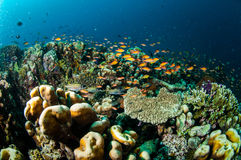 Various coral reefs and fishes in Gili, Lombok, Nusa Tenggara Barat, Indonesia underwater photo Stock Photography