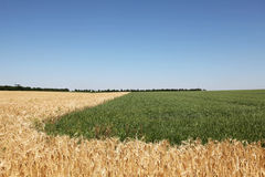 Various couler wheat field and blue sky Stock Photography