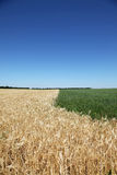 Various couler wheat field and blue sky Royalty Free Stock Photography