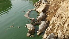 Various Crocodiles by the side of Pound. At AbdullH Shah Gazi Shrine in Karachi Royalty Free Stock Images