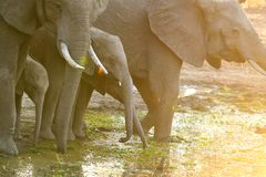 The Cute Baby Elephants of Africa stock images