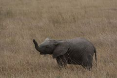 The Cute Baby Elephants of Africa stock image