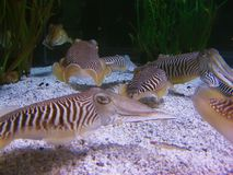 Various cuttlefishes. Cuttlefishes group close up. Underwater aquatic life Royalty Free Stock Photo
