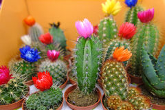 Various decorative indoor cactus Stock Photo