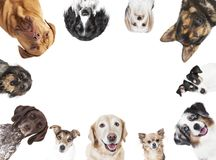 Various dog heads circular arrangement. Many different dog breeds circular in front of white background, isolated stock image