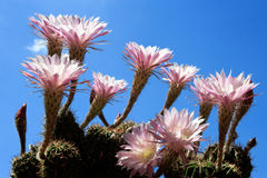 Various Echinopsis cactus flowers on blue sky Royalty Free Stock Photos