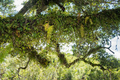 Various Epiphyte on trees Royalty Free Stock Photography