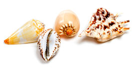 Various of exotic seashells on white. Various of exotic seashells  on white background with copy space Royalty Free Stock Photography