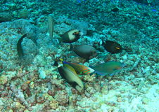 Various fishes feeding on dead corals Royalty Free Stock Photography