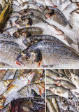 Various fishes stored on ice. Collage of various fishes stored on ice at the fish market Royalty Free Stock Images