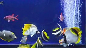 Various fishes swimming in aquarium. With pump stock video footage