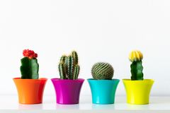 Various flowering cactus plants in colorful flower pots against white wall. House plants in a row on white shelf. royalty free stock photos