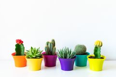 Various flowering cactus and succulent plants in bright colorful flower pots against white wall. House plants on white shelf. royalty free stock photos