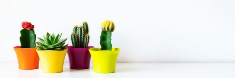 Various flowering cactus and succulent plants in bright colorful flower pots in a row against white wall. House plants on a shelf. royalty free stock image