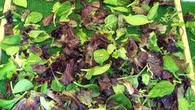 Various fresh lettuce plants for salad in Paris market stock video footage