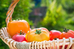 Various fresh picked organic tomatoes in a basket Royalty Free Stock Images