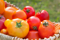 Various fresh picked organic tomatoes in a basket cose Stock Photo