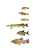 Various freshwater fish  collection isolated on white background Stock Photography