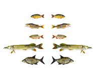 various freshwater fish symetric collection isolated on white  Stock Images