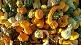 Various gourds and pumpkins of different shapes and sizes Royalty Free Stock Photos