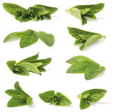 Various green peppermint. Close-up shoot of various green peppermint plant. Isolated on white background. (lat. Mentha piperita royalty free stock photography