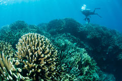 Various hard coral reefs in Gorontalo, Indonesia. Stock Photos