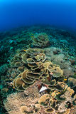 Various hard corals on a tropical reef Stock Photo