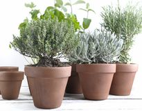 Herbs aromatic in pot on a garden table Royalty Free Stock Photography