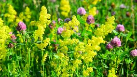 Various herbs and flowers on meadow close-up, Russia stock video