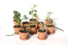 Various herbs in pots Stock Photo